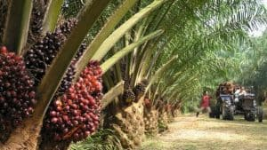 malaysia plantation